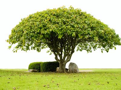 Der LEgende nach soll Buddha nach der Meditation unter einem Bodhi-Baum wie diesem zur Erleuchtung gelangt sein.